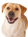 Close-up of a happy yellow Labrador Retriever Dog Royalty Free Stock Photo