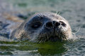 Close up of harbour seal in the water