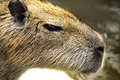 Close-up head of a beaver Stock Photography