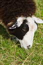 Close up on head of brown and white spotted sheep Stock Photos