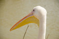 Close-up of the head with a large beak pelican Royalty Free Stock Photo
