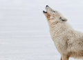 Close up head shoulders arctic wolf howling Stock Photos