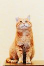 Close up head snout of peaceful orange red tabby cat male kitten looking on yellow background Royalty Free Stock Images