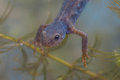 Close up of the Head of a Submersed Alpine Newt Royalty Free Stock Photo