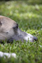 Close Up Of Head Of Whippet Banished From House Royalty Free Stock Photo