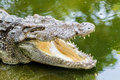 Close up of header crocodile in the water Royalty Free Stock Images
