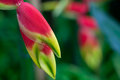 Close Up Heliconia Stock Photos