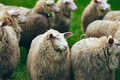 Close-up of herd of sheep.