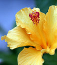 Close Up Hibiscis Royalty Free Stock Photo