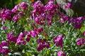 Close-up of Hoary Stock Flowers, Tenweeks Stock, Matthiola Incana, Nature