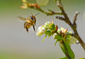 Close up honey bee flying toward blueberry blooms action bumble Stock Image