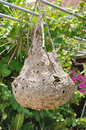 Close up hornet nest hanging on tree. Royalty Free Stock Photo