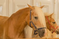Close up of horse head , stallion horse breed haflinger in stable Royalty Free Stock Photo