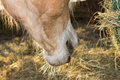 Close up of the horse mouth eating hey Royalty Free Stock Photo