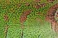 Close-up of iguana scales Royalty Free Stock Photo