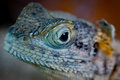 Close-up of an iguana Royalty Free Stock Photo