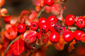 Close up image bush wild red berries Stock Photography
