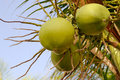 Close up image coconut fruits against blue sky Royalty Free Stock Photo