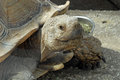 Giant Tortoise Head And Face