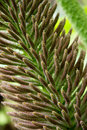 Close up image of gunnera manicata flower Royalty Free Stock Photo