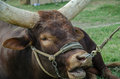 Close up image of a longhorn bull Royalty Free Stock Photo