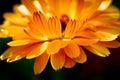 Close Up Image Of Orange Calen...