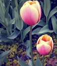 Close-up image  of pink and yellow tulips Royalty Free Stock Photo