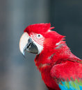 Close up image of red parrot Royalty Free Stock Photography