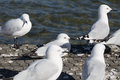 Close up image of seagulls take a rest by the lake Royalty Free Stock Photo