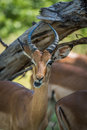 Close-up of impala chewing under dead branch Royalty Free Stock Photo