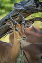 Close-up of impala under branch facing camera Royalty Free Stock Photo