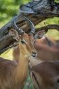 Close-up of impala under branch facing camera Royalty Free Stock Photo