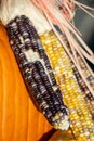 Close up of Indian corn ears on pumpkin background Royalty Free Stock Photo