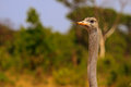 Close up of an isloated ostrich face and neck on the plains in hwange national park with a natural bush background Royalty Free Stock Images
