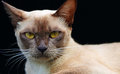 Close up isolated Burmese cat gold eyes face & head Stock Image