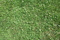 Close Up Isolated Green Grass with White Florals Royalty Free Stock Photo