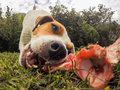 Close Up Jack Russell Terrier Dog Chewing A Bone Royalty Free Stock Photo