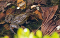 Close Up of Japanese Brown Frog Royalty Free Stock Photo