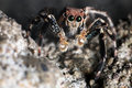 Close up of jumping spider captures a bee shallow dof Stock Images