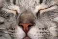 Close up kitten sleeping of grey and silver tabby Stock Images