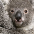 Close-up of Koala bear, Phascolarctos cinereus Royalty Free Stock Photo