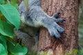 Close up of Koala claws Royalty Free Stock Photo