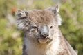 Close-up of a koala Royalty Free Stock Photo