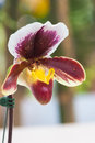 Close up of lady s slipper orchid paphiopedilum callosum Royalty Free Stock Photos