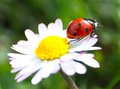 Close up with ladybug and dasy during the spring Stock Photography
