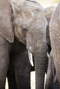 Close up of large african elephant in tanzania big and old elephants serengeti africa Royalty Free Stock Photography