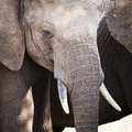 Close up of large african elephant in tanzania big and old serengeti africa Stock Image