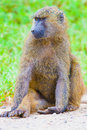 Close up large male baboon s face republic kenya Stock Photography