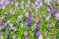 Close up lavender flower Royalty Free Stock Photo