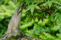 Close up of leaves of a maple tree bonsai japanese Stock Photos